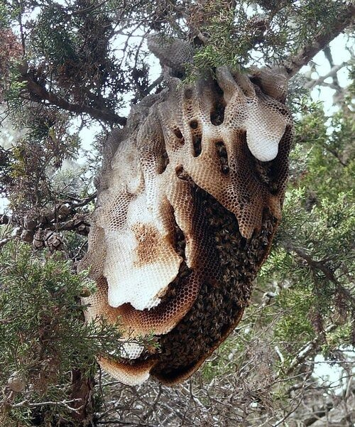 Bees Removed Live From Tree