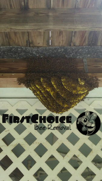 honey bees built a hive underneath a floor space