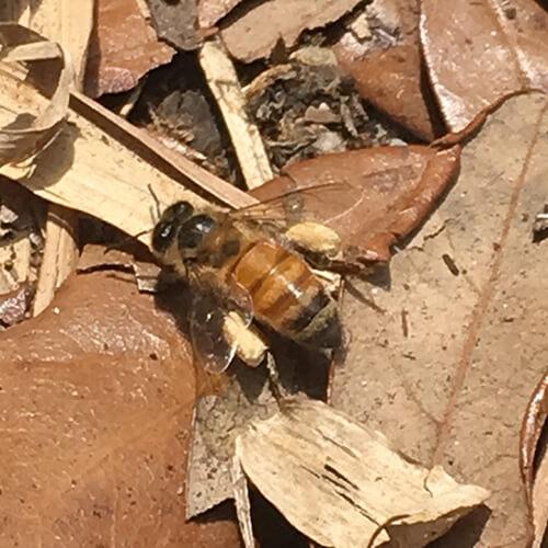 bee identification