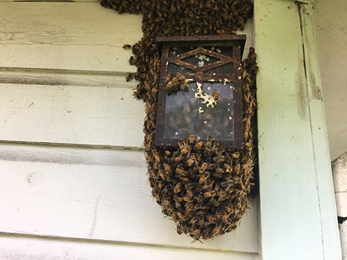 Clearwater bee removal