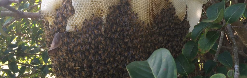 Beehive hanging from a tree caused client to ask how much is bee removal