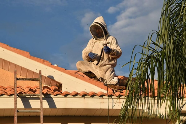 Bee removal in St Petersburg in action on top of a tile roof