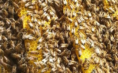 A Record Number of Honey bees Passed on The previous Summer