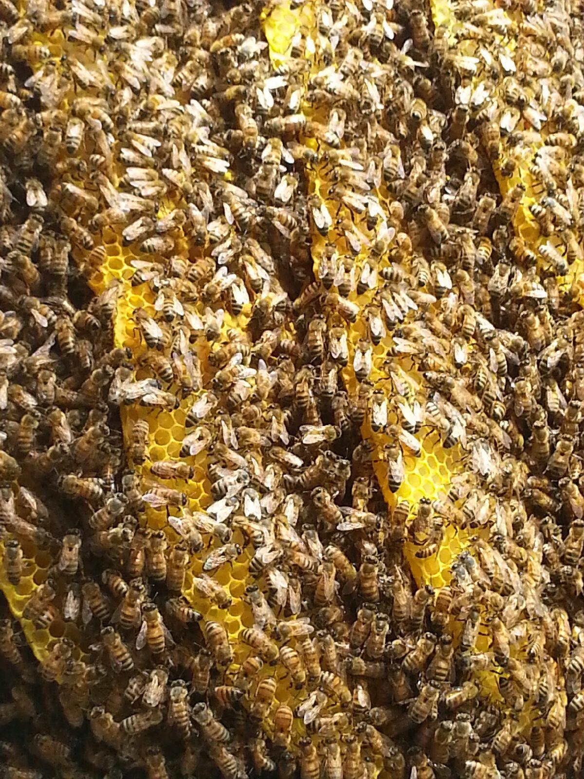 honey bees nest found in Florida