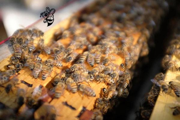 Bee removal Chandler AZ